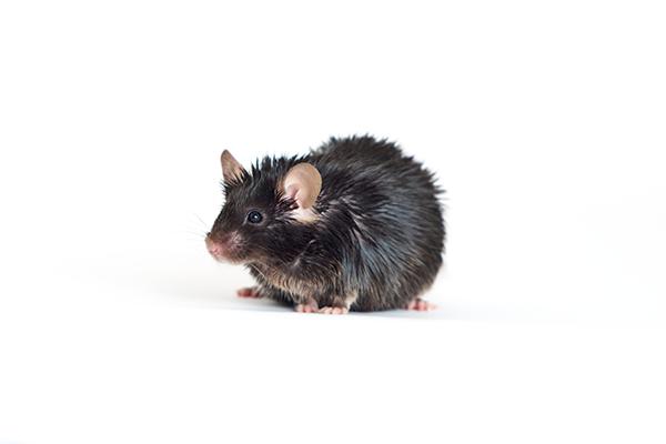 raton experimentos