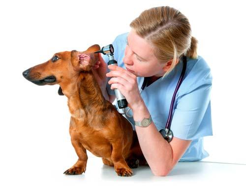 otitis perro