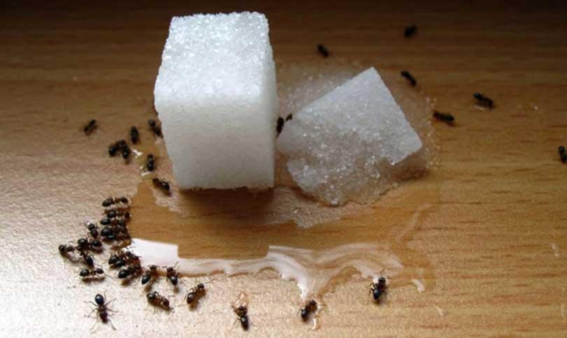Remedio casero para las hormigas