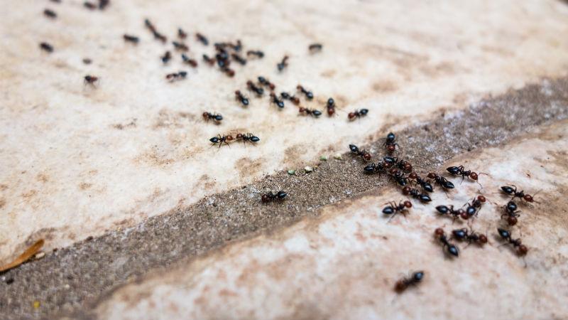 Remedios naturales para las hormigas