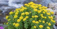 planta amarilla