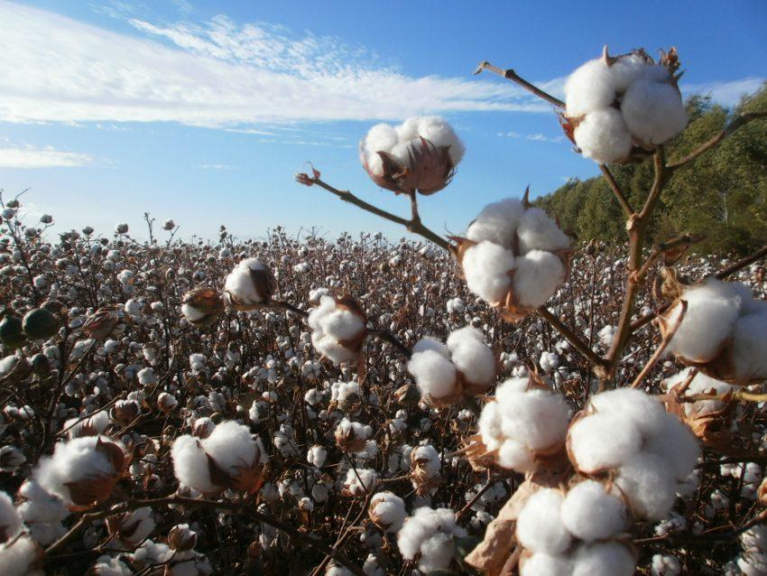 cultivo algodon